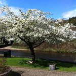 A beautiful White Cherryin Full in The Park in Avoca Village