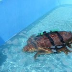  Injured turtle under treatment