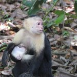 I was lucky enough to snap this breast feeding capuchin monkey on a