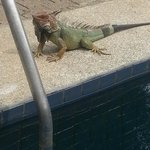  one of our iguana friends!