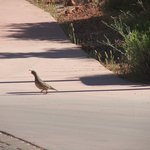 a Mountain Quail in the parking lot