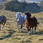  Wild Welsh ponies