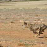 Velvet the cheetah at full speed sprint