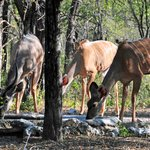 Kudus at watering hole next to main building