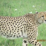 Our last sighting at Masai Mara
