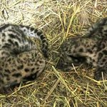 Twin snow leopard cubs born on April 20, 2013.