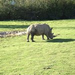 rhino grazing contently on the grass