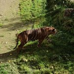  Tiger strolling around happily