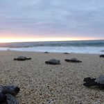 Were released twelve, little turtles at our north beach