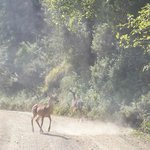  Deer on the road.