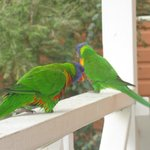 Rosellas came for breakfast
