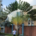  Fan Palm