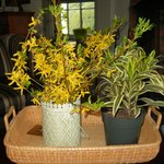 Fresh spring forcythia in the living room