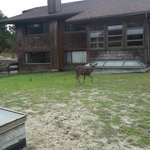  Several deer were roaming around the grounds