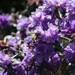 A honey bee on one of our azaleas.