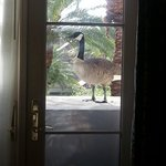 A goose out the window of my room