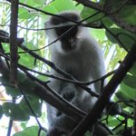  Vervet Monkey in the Tree