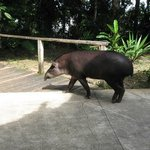  One of the tapirs ... reminds me of a rhino-aardvark-pig hybrid
