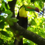 Keel-billed Toucan (courtesy of Koky)