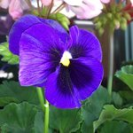  Pansy in storefront window