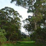 Magnificent, soaring eucalypts