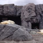 Lethargic polar bears