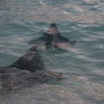  Eagle rays near the waters edge