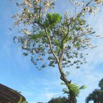 Palawan cherry blossoms
