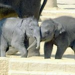 Zoo Hannover - world record - 5th baby elephant in 2010 born!