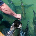  Tarpon feeding