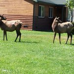 Elk visiting the cabins