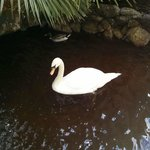  The beautiful swan in the pond.