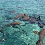 Nurse sharks seen from Carlos' boat