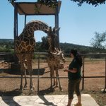  The feeding of the giraffes