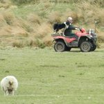 The sheepdog on a quad!