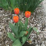  Jeweled Tulips