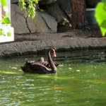 Black swans, lots of koi