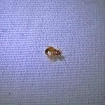 Black Cat Inn bed bug- Antigua- taken at 4:32am April 30th