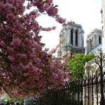  Cherry blossoms with Notre Dame de Paris in the background