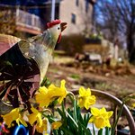  Spring country hen.