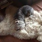 Minty tired out, we have now bought a sheepskin rug.