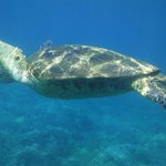 Turtle at Makena