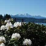 Rhododendrons in bloom in May at Alderbrook. Olympic Mtns beyond