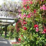  The wisteria arbor at South Coast