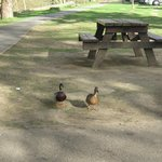 Picnics  for ducks