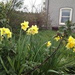 Daffodils were blooming in the yard.