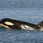 Orcas surfacing in Blackfish Sound across from Telegraph Cove.