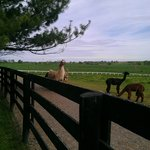  View of the Alpacas