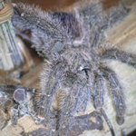 Tarantulas that live OUTSIDE your room (thankfully!)