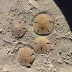 Sand dollars AKA Mermaid money